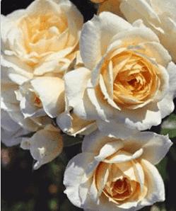 sams-roses